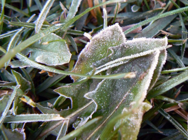 dandy-frost