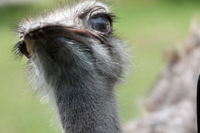 ostrich-eye